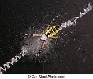 Garden Spider on web black background