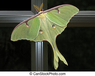 Luna Moth on window