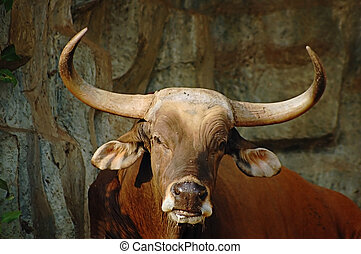 Bulls head - A magnificient bull banteng from south-east...