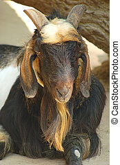 Billy goat - Portrait of male goat taking shade under a tree