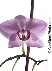 Neon orchid