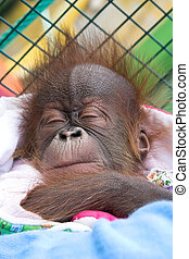 baby orangutan, reproduction program in the zoo of...