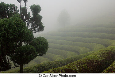 Foggy Tea Field - Foggy and rainy spring afternoon in...