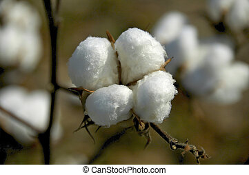 Cotton-Boll - Close-up of cotton boll ready for harvest
