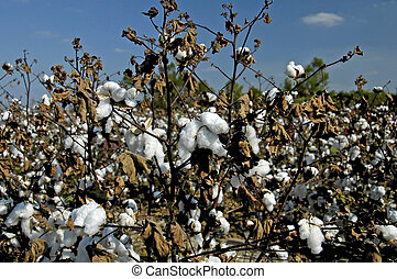 Cotton Field - Cotton Plants in the field ready for harvest
