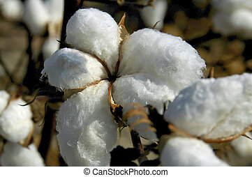 Cotton Boll  - Close-up of cotton boll ready for harvest