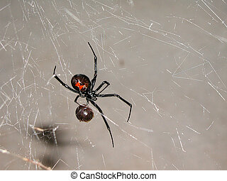 Spider 1 - Black widow spider having lunch