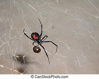 Spider 1 - Black widow spider having lunch