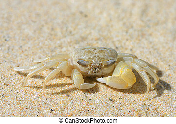 Sand Crab - A close up of a  crab on a sandy beach