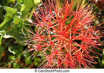 Pom Pom Flowers - A bright red pom pom flower in full bloom