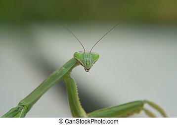 Mantis Monster - Smaller than it looks, this praying mantis...