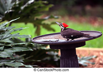 Pileated Woodpecker - A pileated woodpecker stops at a bird...