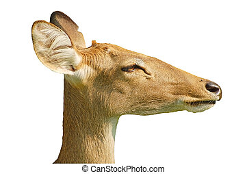 Deer profile - Head of an Elds deer from Thailand with...
