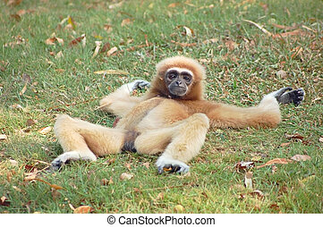 Take it easy - A female gibbon relaxing on the grass