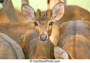 Wide eyed - A young and alert Eld\\\'s deer from Thailand