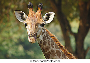 Young giraffe - Portrait of head and neck of young giraffe