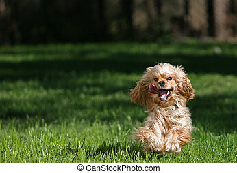 Cocker spaniel - Happy cocker spaniel running towards the...