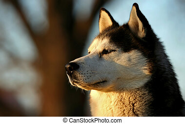 Husky - Beautiful husky dog looking at the sunset