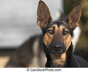 Shepherd - German shepherd