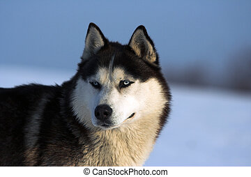 Husky looking straight at the camera