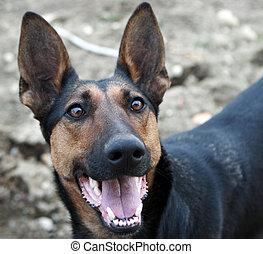 German shepherd - Dogs portrait