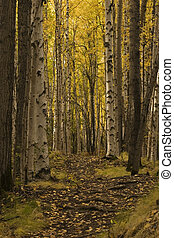 nice path in birch forest - Fall birch forest in its best...
