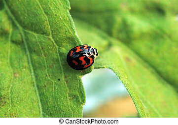 Ladybird crossing le - Ladybird acrossing from one leaf to...