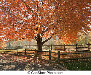 Autumn Glory - A beautiful Autumn shade tree in full...