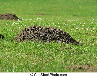 molehill - a molehill on grassland
