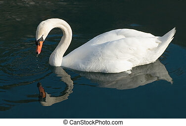 Swan Reflections - Swan looking at his reflection in the...