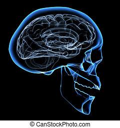 Human brain - X-ray image of a human head with brain