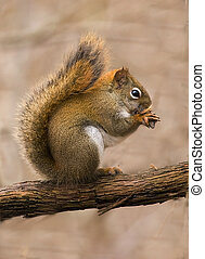 red squirrel - A vibrant and colorful red squirrel posing