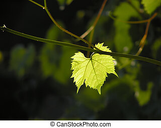 grape leaf - Single green transparent grape leaf
