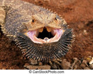 Angry Bearded Dragon (Pogona vitticeps), Sturt Desert,...