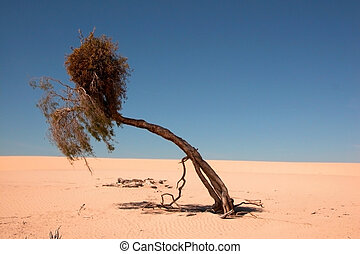 A tough life for a tree in the desert, Lake Mungo National...