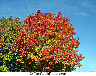 Autumn Maple - An autumn maple in full red bloom