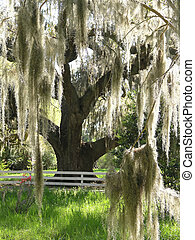 Spanish Moss on Oak, Magnolia Plantation, SC