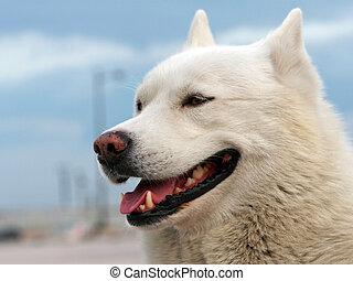 Husky - White - haired husky smiling. Picture taken in...