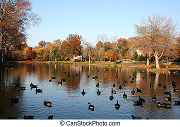 Flock of Geese Swimming in a Pond