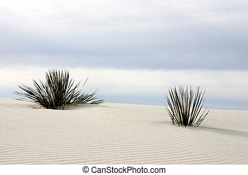 Yucca at White Sands - Soaptree yucca plants grow through...