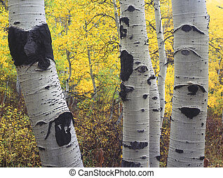 ThreeAspens - Three aspen trees in the Wasatch-Cache...