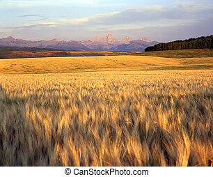 WheatField and Tetons - A wheat field in Idaho with the...