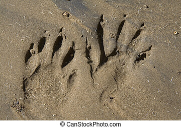 animal tracks - animal racoon tracks imbedded in sand on a...