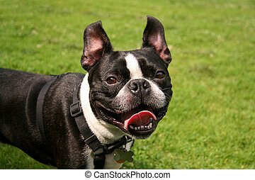 Smiling French Bulldog in the Park on a Leash