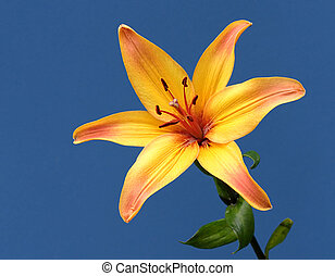 Yellow Lily - A yellow lily on a blue posterboard background...