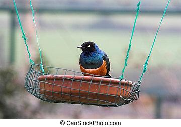 colorful bird , Lamprospreo suberbus, on a feeder
