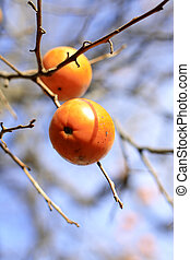 Persimmon fruits in a tree-selective focus