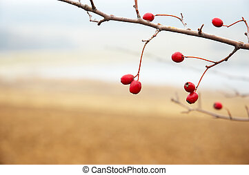 hawthorn branch with red berries, late autumn, shallow DOF