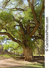 Gnarly tree - A very old gnarled tree in a park of Utah ,...