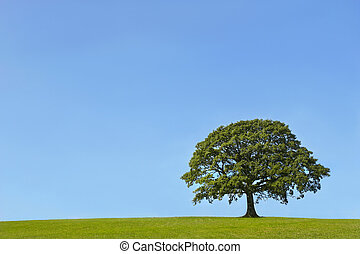 The Ancient Oak in Summer - Oak tree in a field in Summer,...